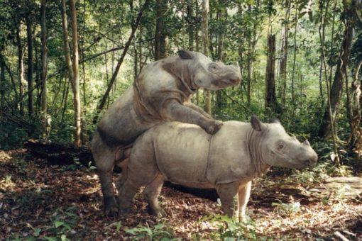 Image of two Sumatran rhinos mating