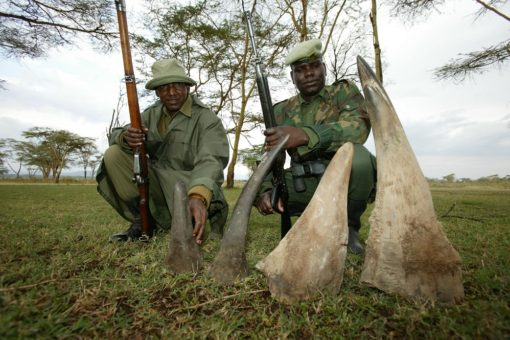 Image of two rangers next to four seized rhino horns.