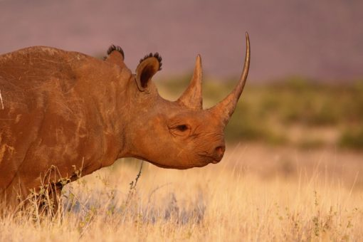 Image of a black rhino with full horn.