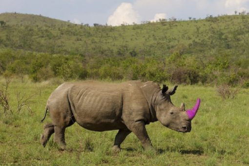 Digitally altered image of a rhino with a pink horn.