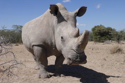 Image of a Northern white rhino.