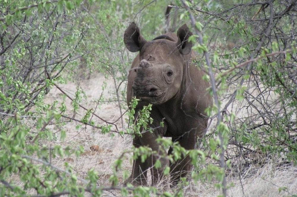 Image of orphaned black rhino calf, Millie in the bush.