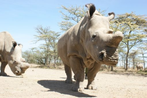Image of Northern white rhino.