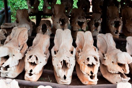 Rhino skulls from poached rhinos lined up on a table.