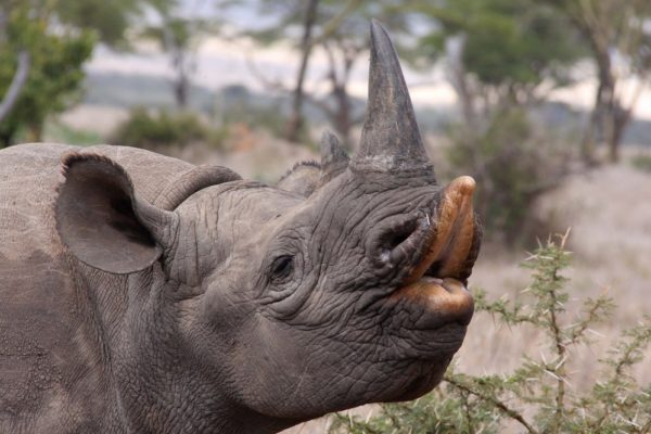 Hooklipped black rhinoceros pulling a funny face