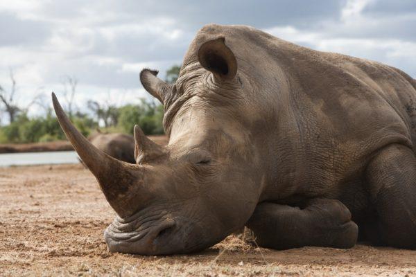 White rhino lying down in Africa