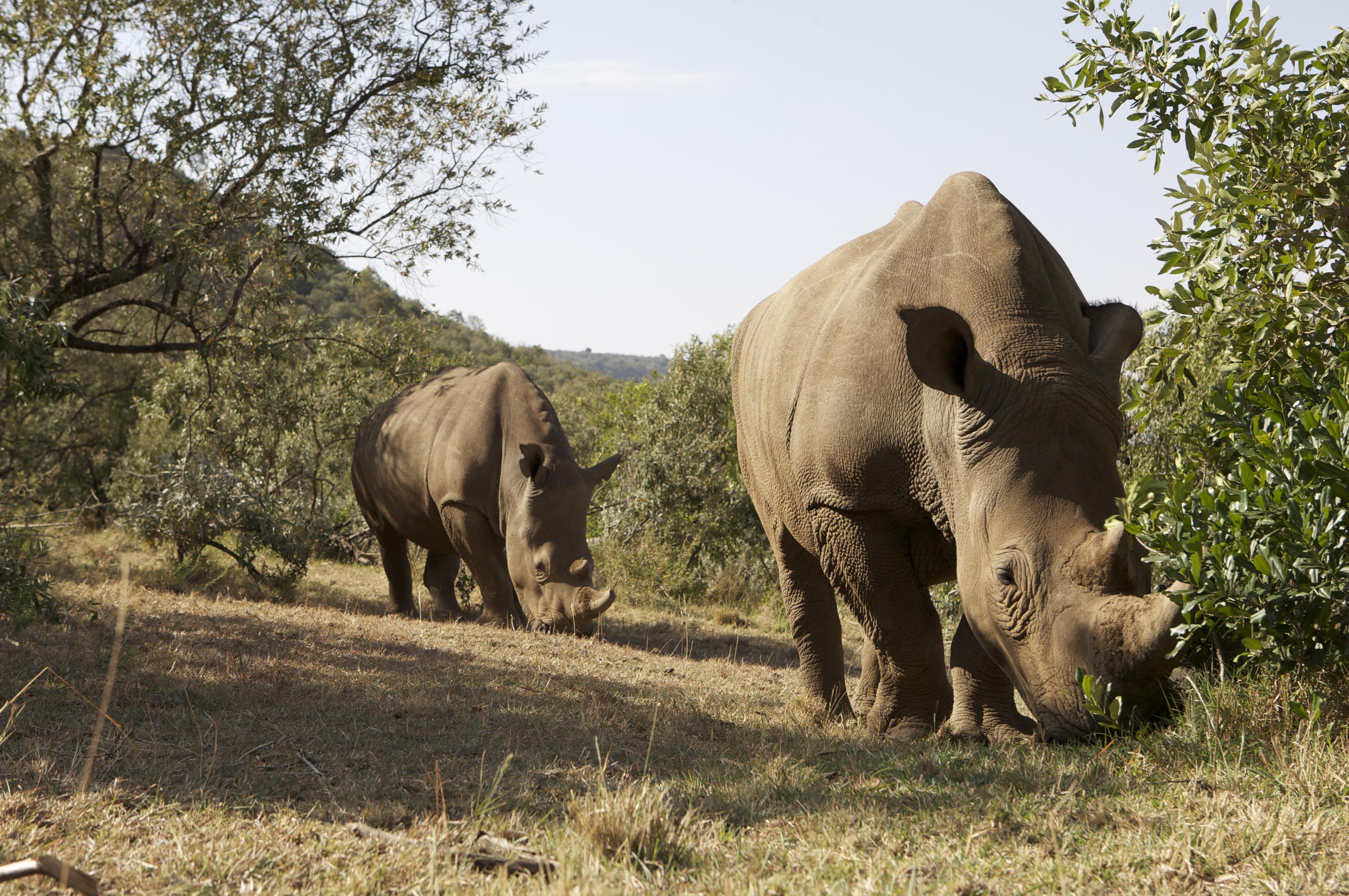 White rhino: habitat, description, lifestyle features 94