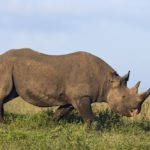 Image of Endangered black rhino species in Africa grazing