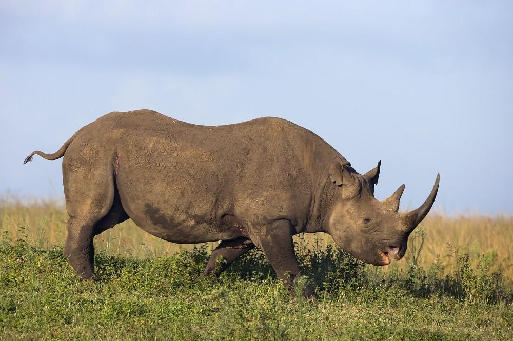 Image of Endangered black rhino species in Africa grazing
