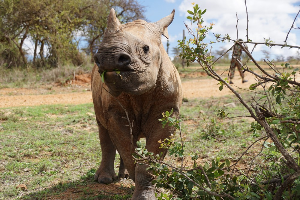 Image of a black rhino calf Meimei at Ol Jogi Conservancy in Kenya