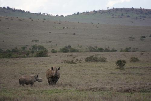 A black rhino and calf in Borana Conservancy, Kenya