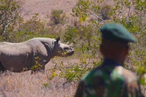 Image of a ranger at Borana Conservancy in Kenya is monitoring black rhino.
