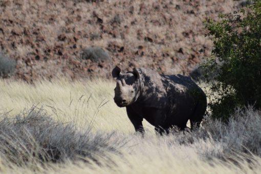 Image of a black rhino in the Kunene Region in Namibia.