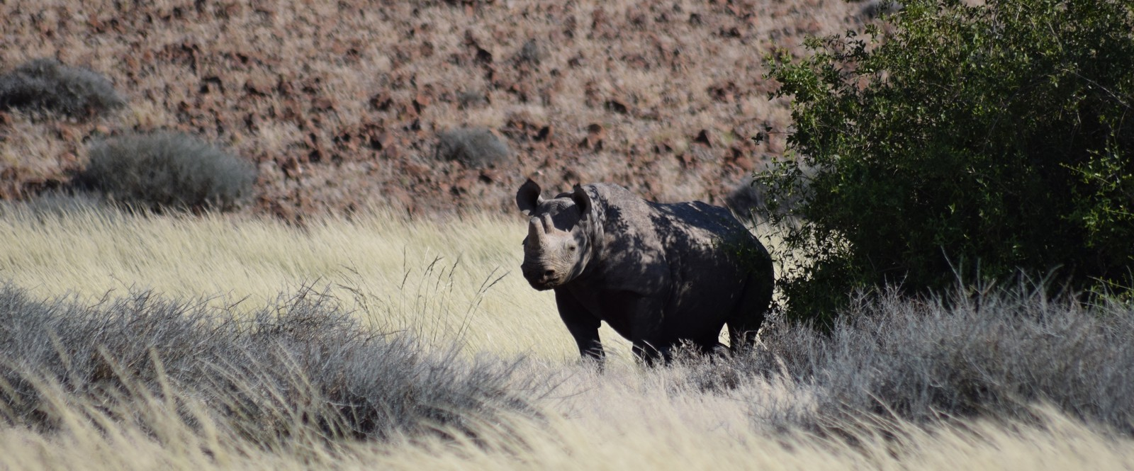 Image of a black rhino in the Kunene Region in Namibia.