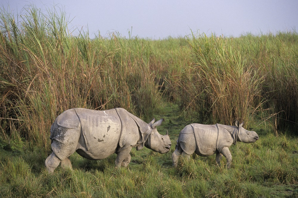 Photo of a rhino calf and mum - Greater one-horned species.