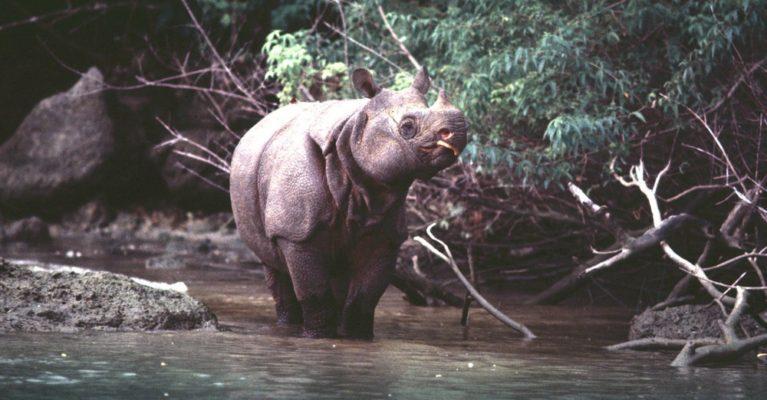 Javan rhino in a river.
