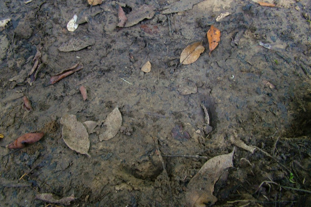 Image of a Javan Rhino footprint.
