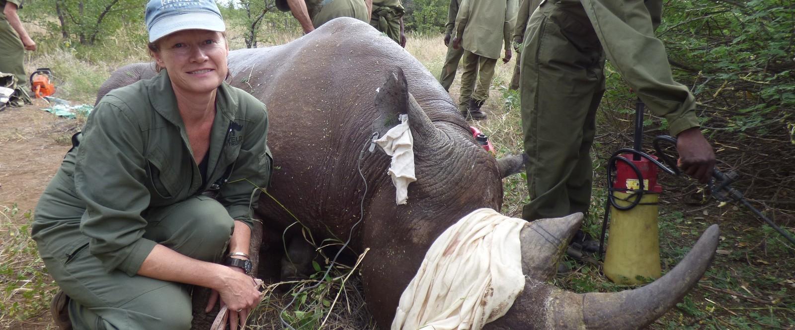 Image of a rhino undergoing operation in Zimbabwe