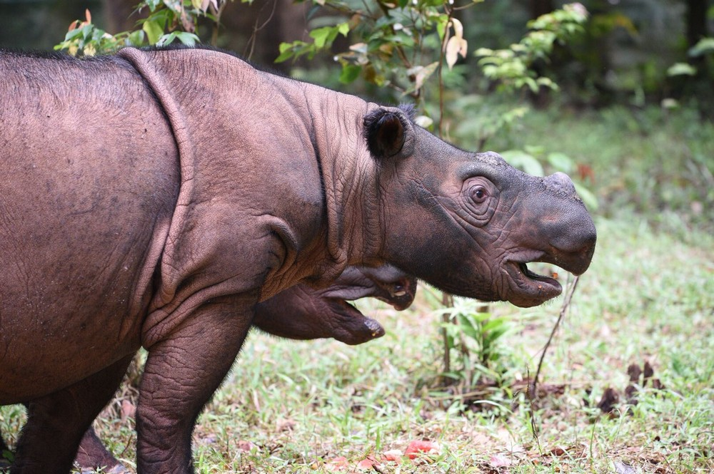 Critically Endangered Image of Sumatran rhino in Indonesia.