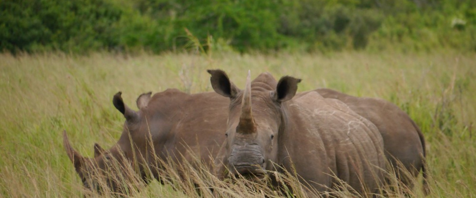 Two white rhinos looking straight into the camera, South Africa.