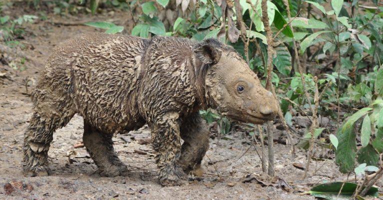 Baby Sumatran rhino who has been playing in the mud