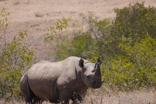 A rhino in the Borana Conservancy, Kenya.