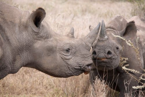 Older white rhinoceros and 2 year old orphans being reintroduced into the wild through conservation efforts in Kenya.