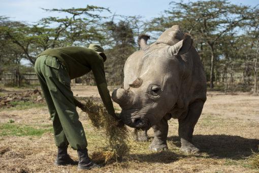 Image of a ranger feeding rhino in Kenya.