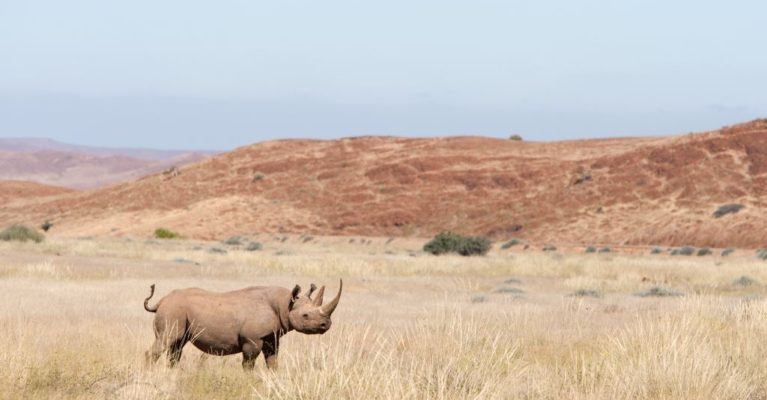 Image of a desert-adapted black rhino