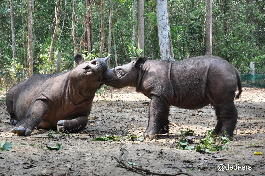 Image of Sumatran rhino calf Andatu and his mother.