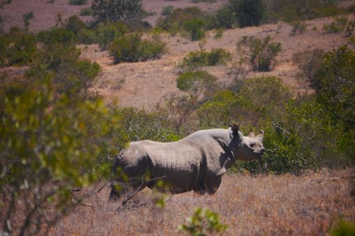 Black rhino looking away from the camera in Kenya.