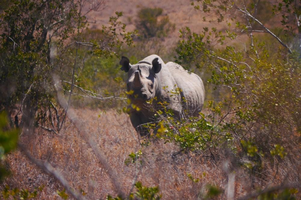 Black rhino behind trees in Kenya.