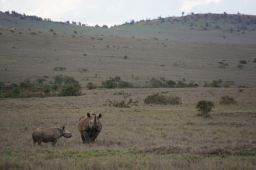 Black rhino and calf in Borana Conservancy, Kenya.