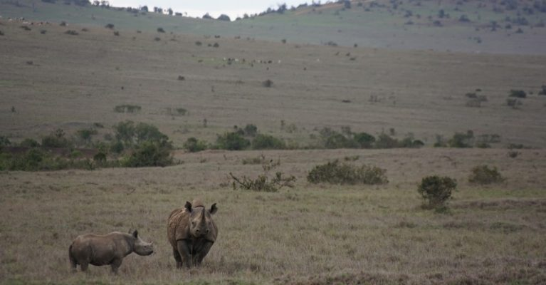 Black rhino and calf in Borana Conservancy, Kenya.