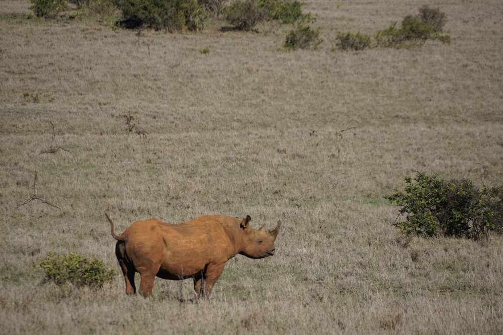 A black rhino looks out into the grassland and holds its tail up.