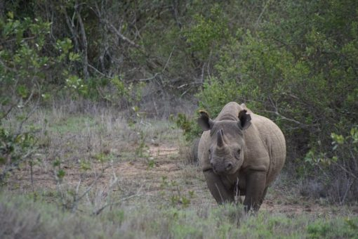 A black rhino at Borana Conservancy, Kenya.