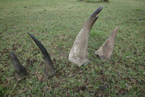 Rhino horns laid on the ground.