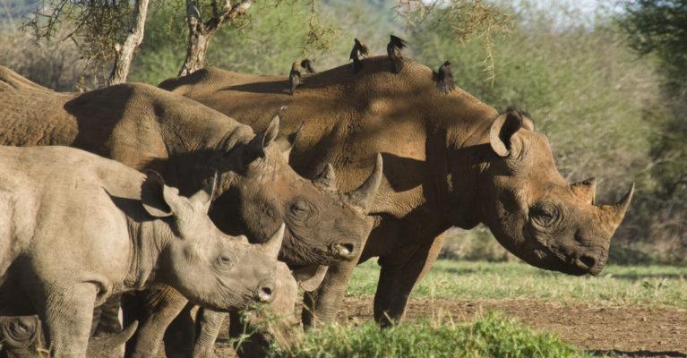 three rhinos standing with birds on their backs. Credit: Matt Brooke