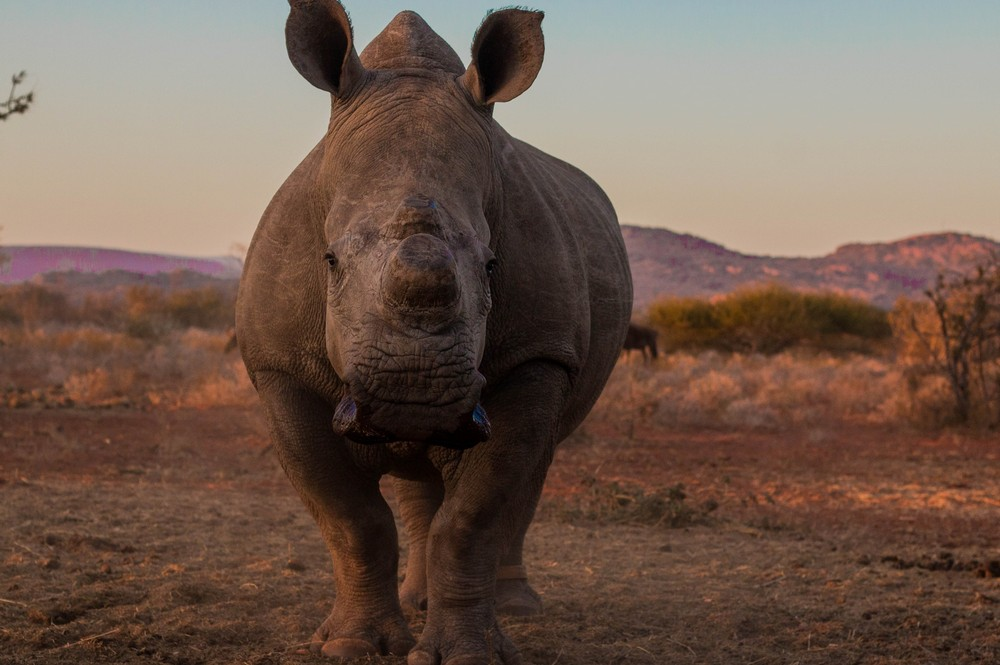 Image of a white rhino close up in sunset.