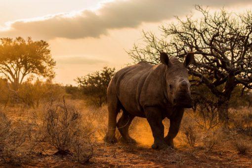 Image of a white rhino walking in sunset,