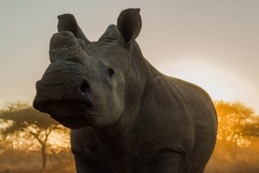 A dehorned white rhino in South Africa at sunset