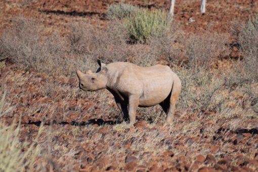 Image of a desert adapted black rhino in Namibia.