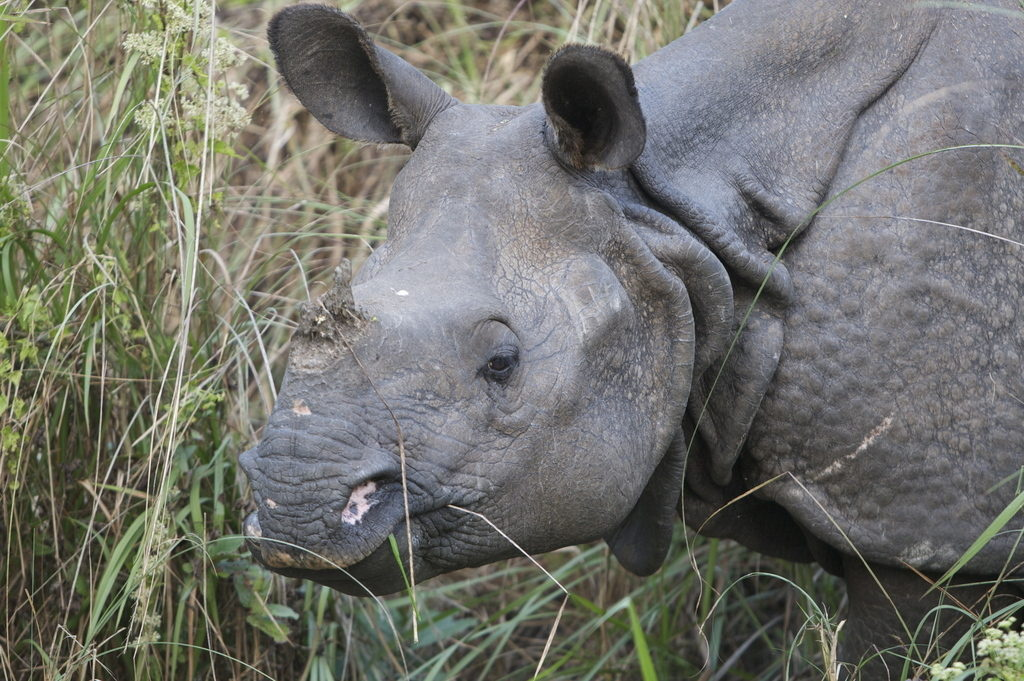 Close up image of a Greater one-horned rhino.