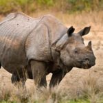 Greater one-horned rhino in the grass.