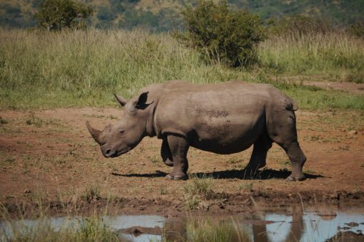 White Rhino by a water bed at Hluhluwe iMfolozie