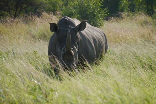 A white rhino amongst grass at Hluhluew iMfolozie