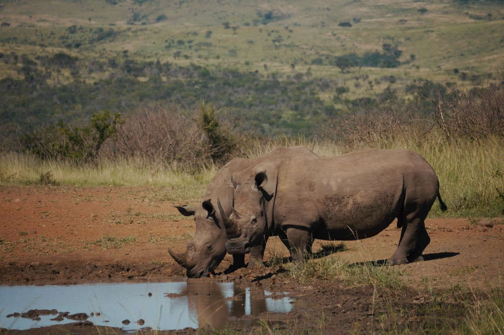 Two rhinos drinking in South Africa.