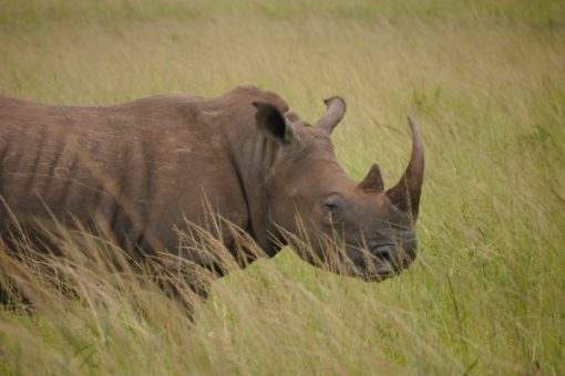 White rhino with a large horn amongst grass in South Africa.