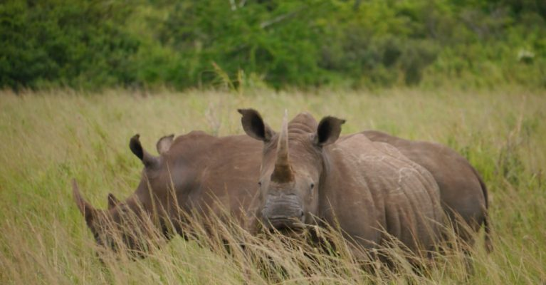Two white rhinos eating grass in Hluluwe iMfolozie Park, South Africa.