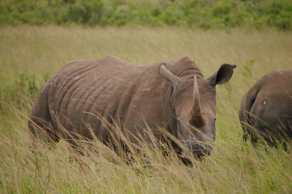 A white rhino looking straight into the camera, South Africa.